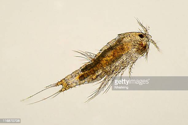 Copepod Stock Photos and Pictures | Getty Images