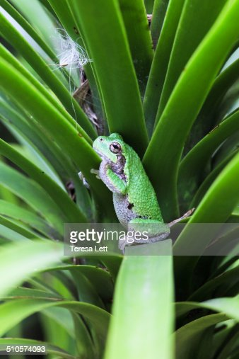 Copes gray tree frog standing