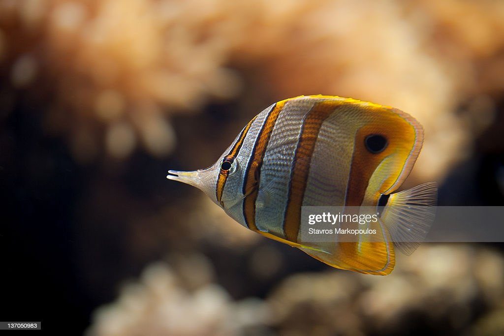 Copperband Butterflyfish : Stock Photo