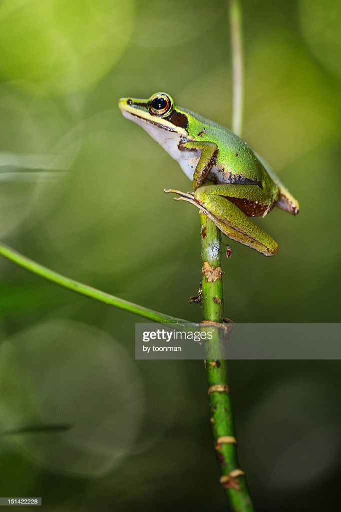 Copper-cheeked frog : Stock Photo
