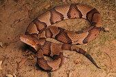 Osage Copperhead found in Broken Arrow, Oklahoma