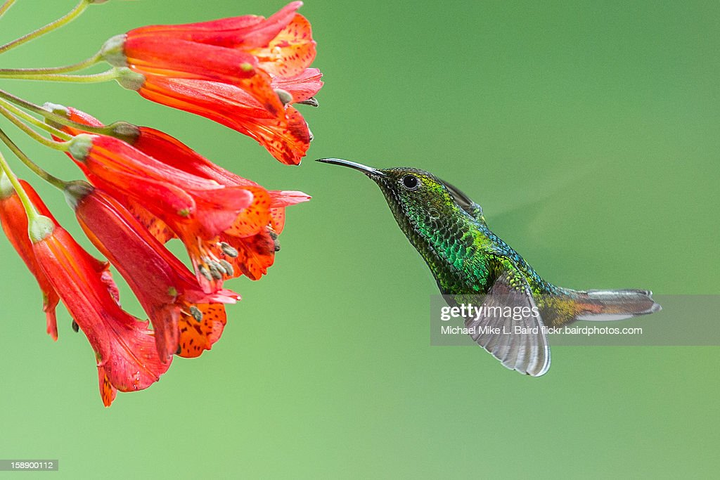 Coppery-headed Emerald Hummingbird : Stock Photo
