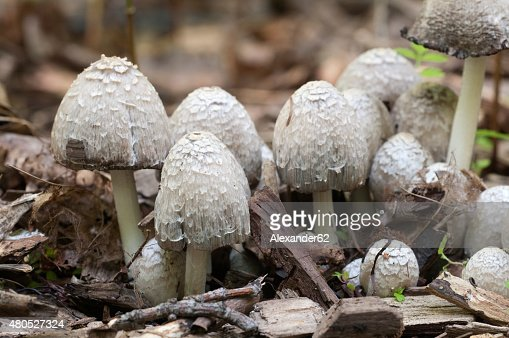 Coprinus comatus mushrooms : Stock Photo
