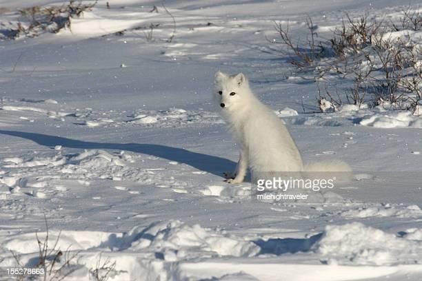 コピースペースホッキョクギツネ上の雪 Hudson 湾の近く