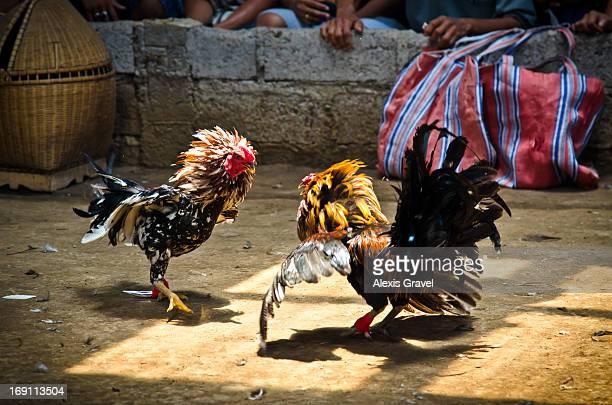 Coq fighting Indonesia