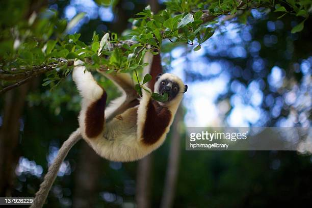 A Coquerel's Sifaka eating leaves, Palmarium, Madagascar