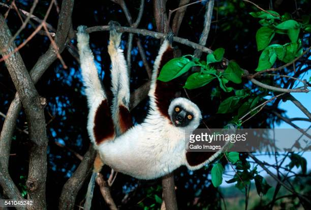 Coquerel's Sifaka in Tree