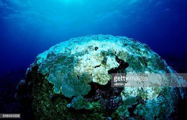 Coral bleaching Bleached coral reef Malaysia Südchinesisches Meer South chinies sea Layang layang