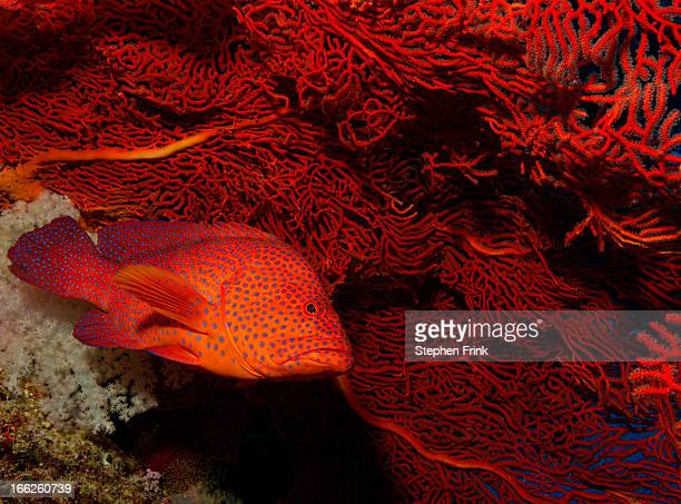 Coral grouper next to gorgonian
