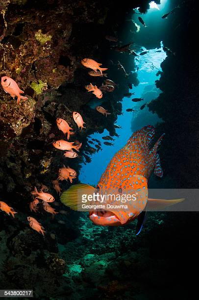 Coral hind on coral reef