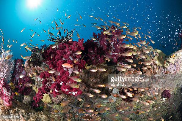 Coral Reef and Pygmy Sweeper Parapriacanthus ransonneti Raja Ampat West Papua Indonesia