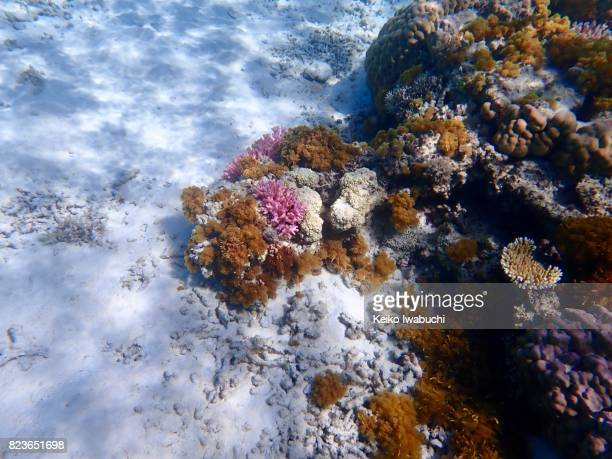 Coral reef and school of tropical fish. Underwater in Okinawa, Japan