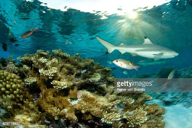 coral reef and shark