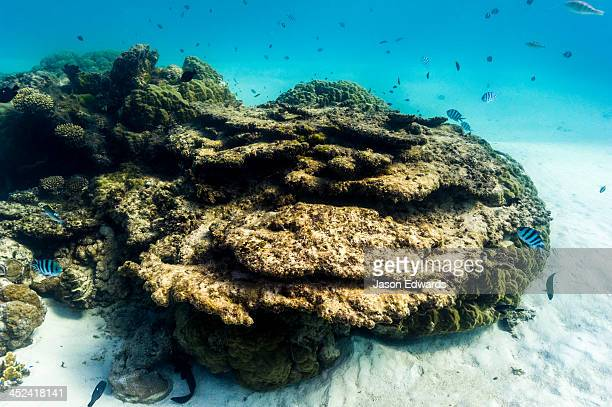 A coral reef bommie rising like an island from the sandy ocean floor.