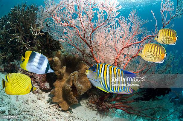 Pacific double saddle butterflyfish stock photos and for Pacifico fish company
