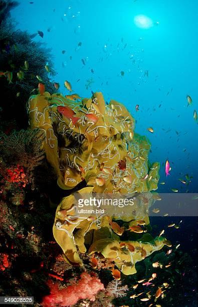 Coral reef Philippinen Bohol Sea Pacific Ocean Panglao Island Bohol