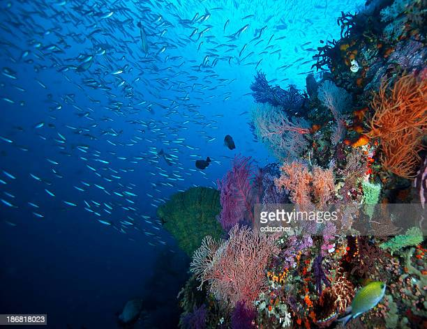 Corallina Reef