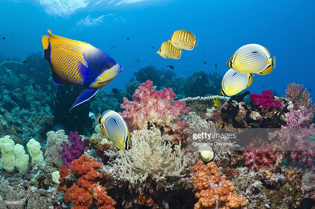 Coral reef scenery with Angelfish and butterflyfis : Stock Photo