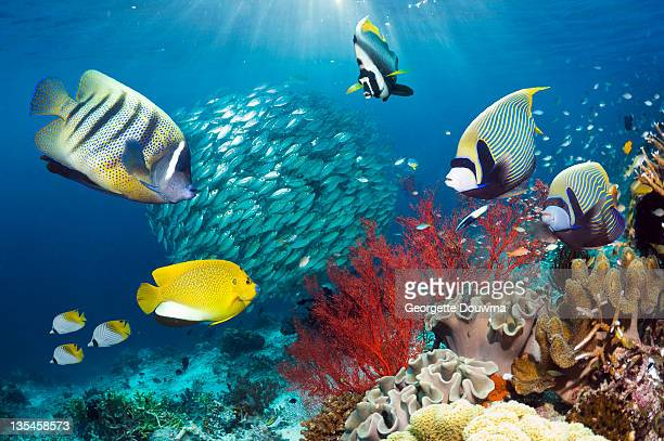 Coral reef scenery with Angelfish.