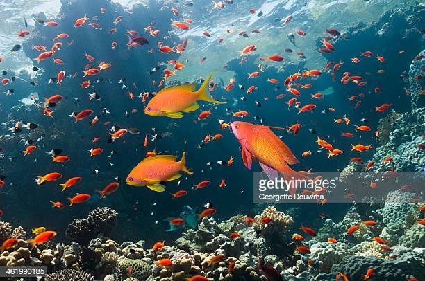 Coral reef scenery with anthias
