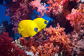 Coral reef scenery with butterflyfish
