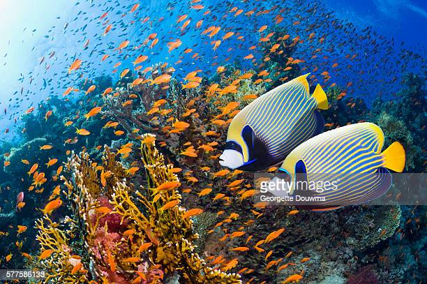 Coral reef scenery with Emperor angelfish