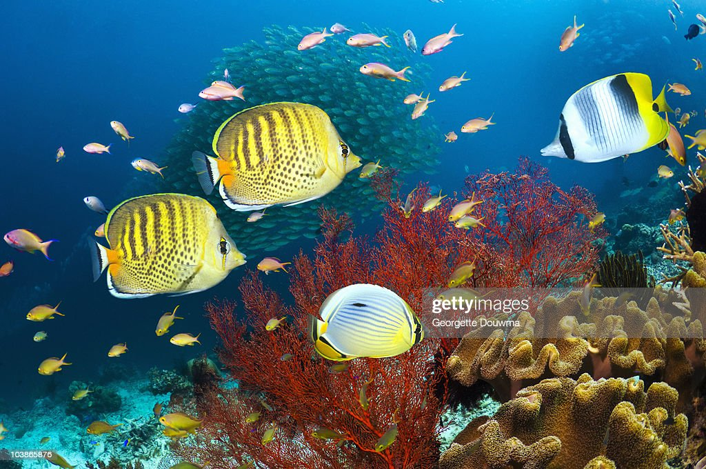Coral reef scenery with tropical fish : Stock Photo