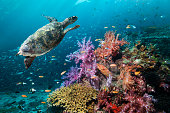 Coral reef scenery with turtle
