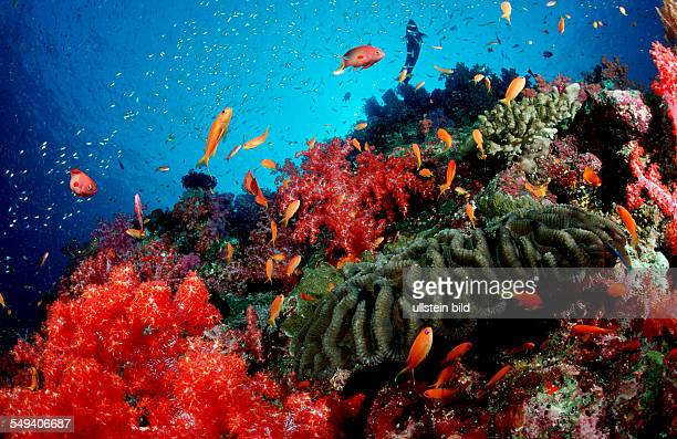 Coral reef Thailand Indian Ocean Phuket Similan Islands Andaman Sea