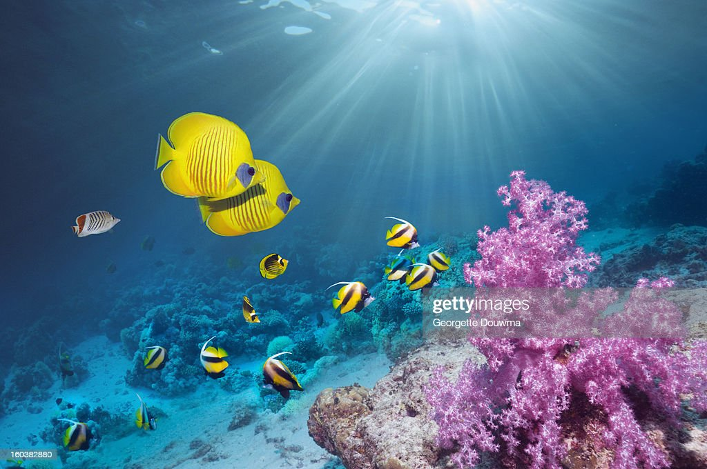 Coral reef with Butterflyfish : Stock Photo