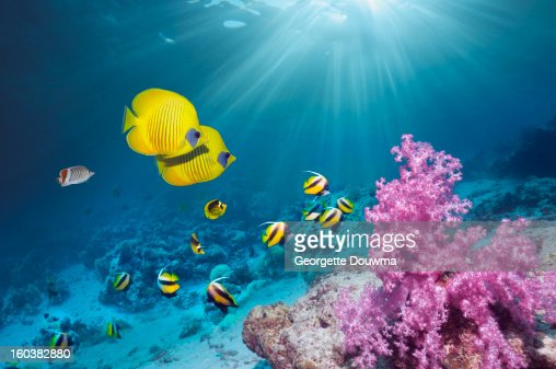 Coral reef with Butterflyfish