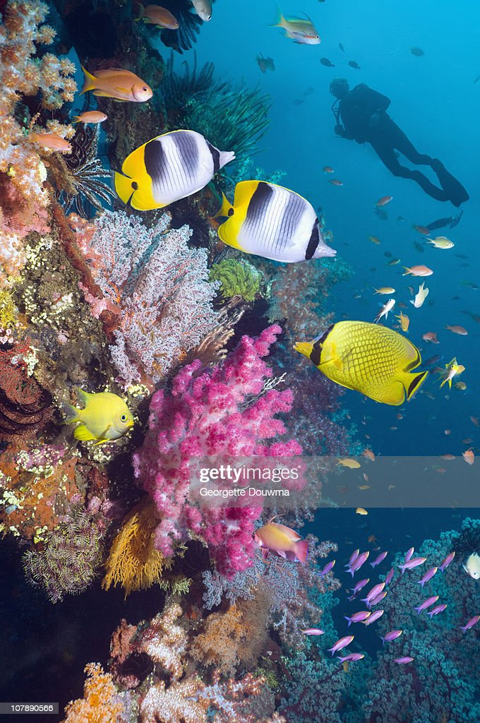 Coral reef with fish and soft corals, with diver