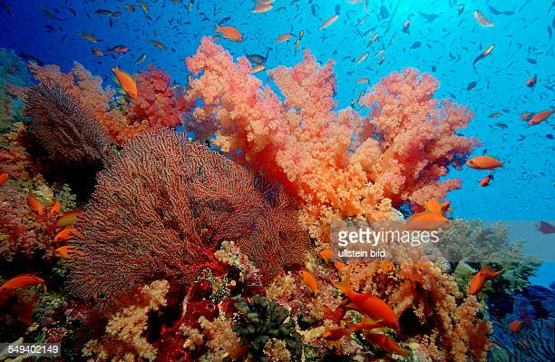 Coral Reef with Hard Corals and Soft Corals Gorgonacea Papua New Guinea Pacific ocean