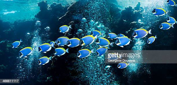 Coral reef with powderblue surgeonfish
