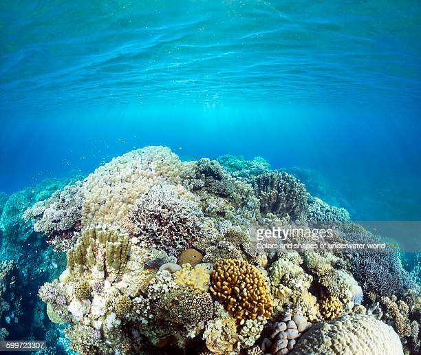 Coral scene in shallow waters of Abu Dabbab
