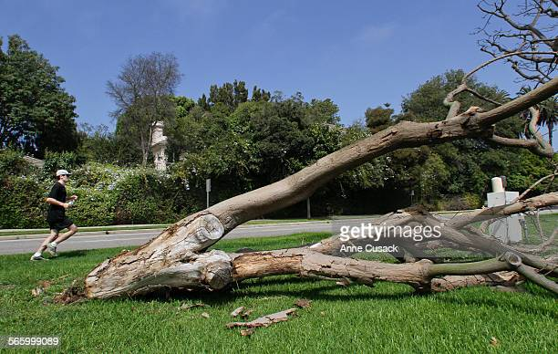 A coral tree that fell over lies in the median along San Vincente Boulevard near Burlingame Avenue in Brentwood which activists wage a constant...