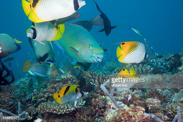 Coralfishes on Coral Reef North Ari Atoll Maldives