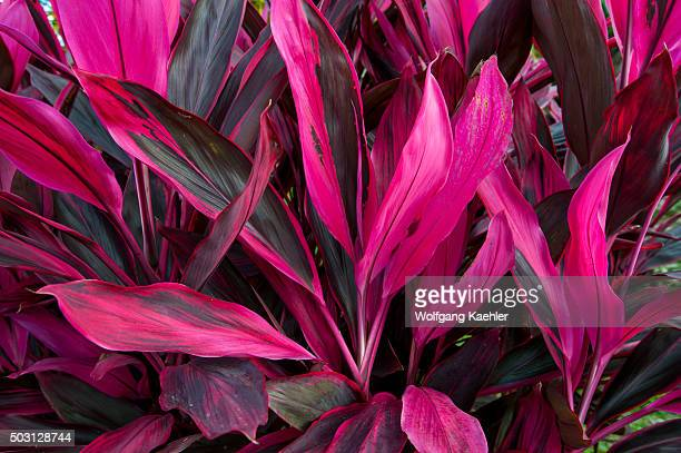 Cordyline terminalis plant with magenta leaves in the rainforest near the Arenal Volcano in Costa Rica