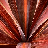 This is a picuture of Cordyline taken from directly abpve. It was nice color and shape.