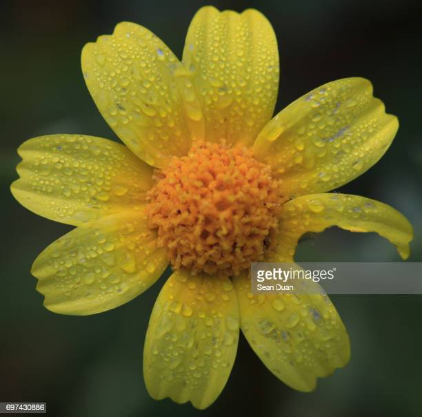 Coreopsis Californica