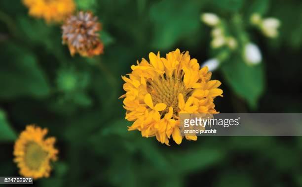 Coreopsis grandiflora or Sunray flower at full bloom