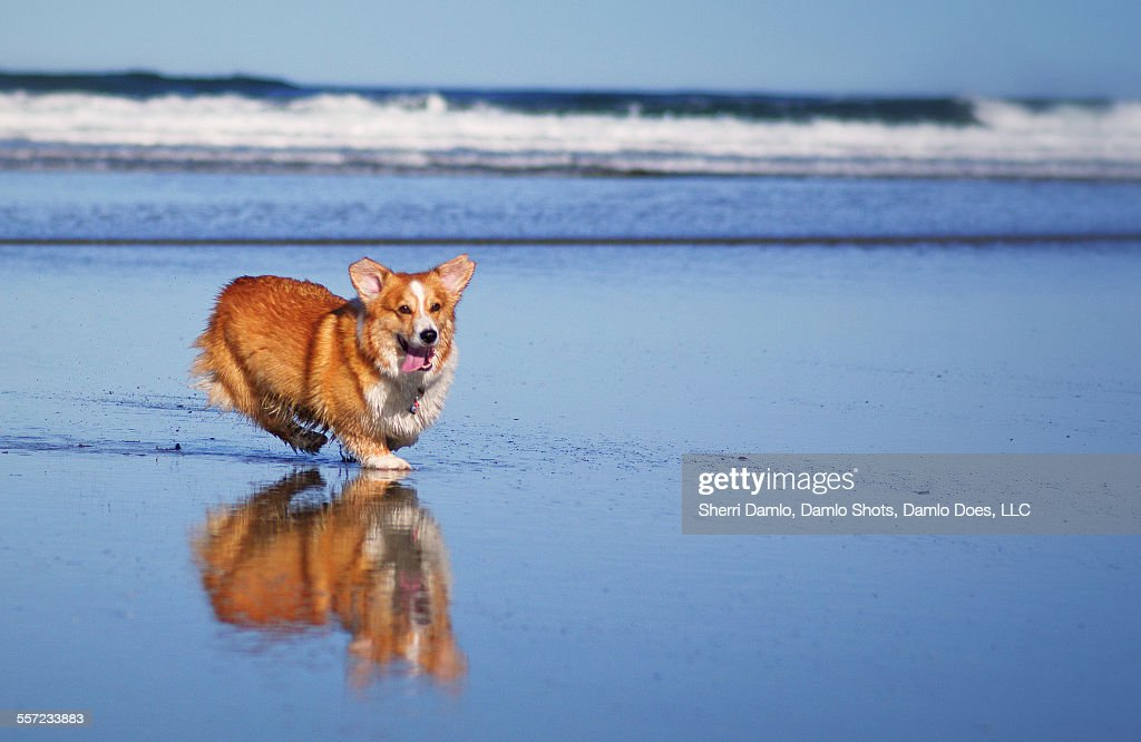 Corgi and his reflection : Stock Photo