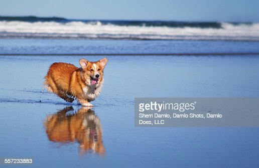 Corgi and his reflection : Stock Photo