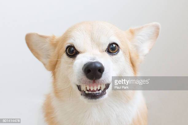 Corgi dog growling