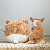Corgi dog sitting with its back turned