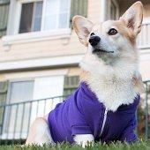 Corgi dog wearing a purple hoodie
