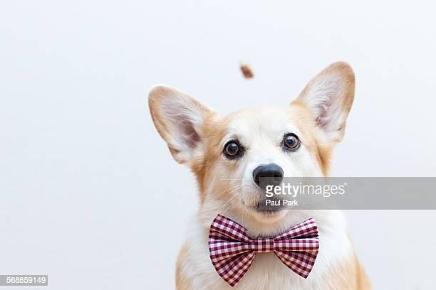 Corgi dog wearing bowtie, focused on a treat