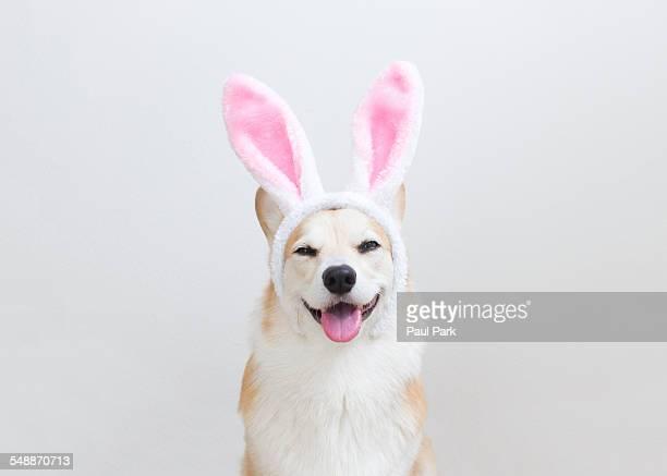 Corgi dog wearing bunny ears