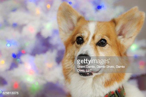 Corgi in front of white tree