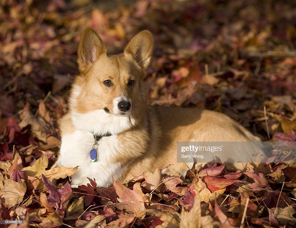 Corgi in leaves : Stock Photo